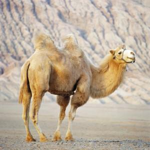 Camel at Base of Flaming Mountain
